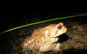 400px-Bufo_Toad