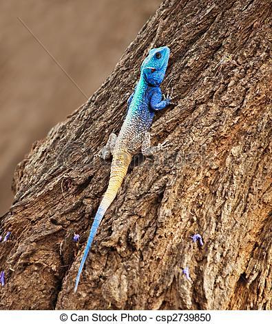 blue-head-agama-lizard-stock-photography_csp2739850