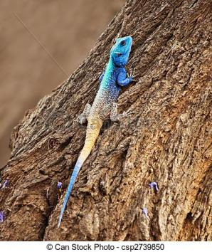 blue-head-agama-lizard-stock-photography_csp2739850